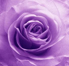Purple Rose (Ref: SEN 001)